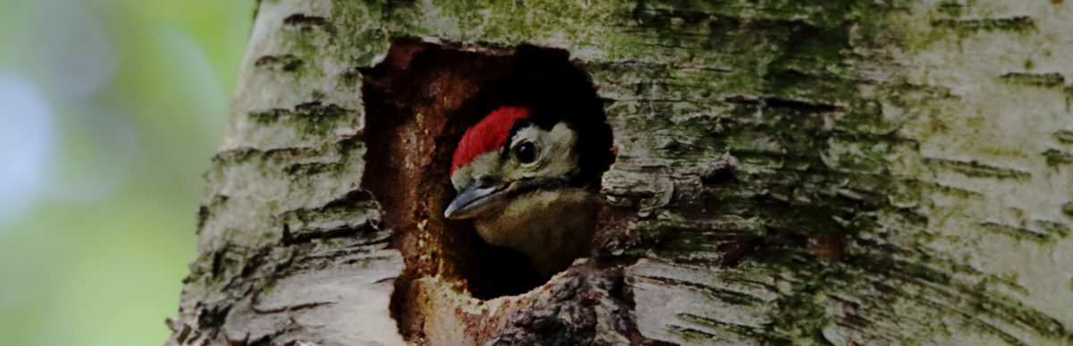 Blue tits and Great Spotted Woodpecker at Shipley Glen