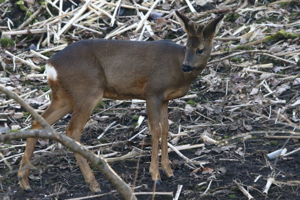 Male Roe Deer with small antlers