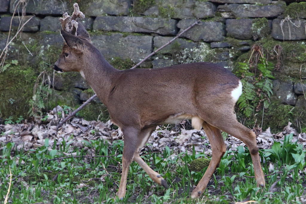 Male Roe Deer with decent antlers. Still young?