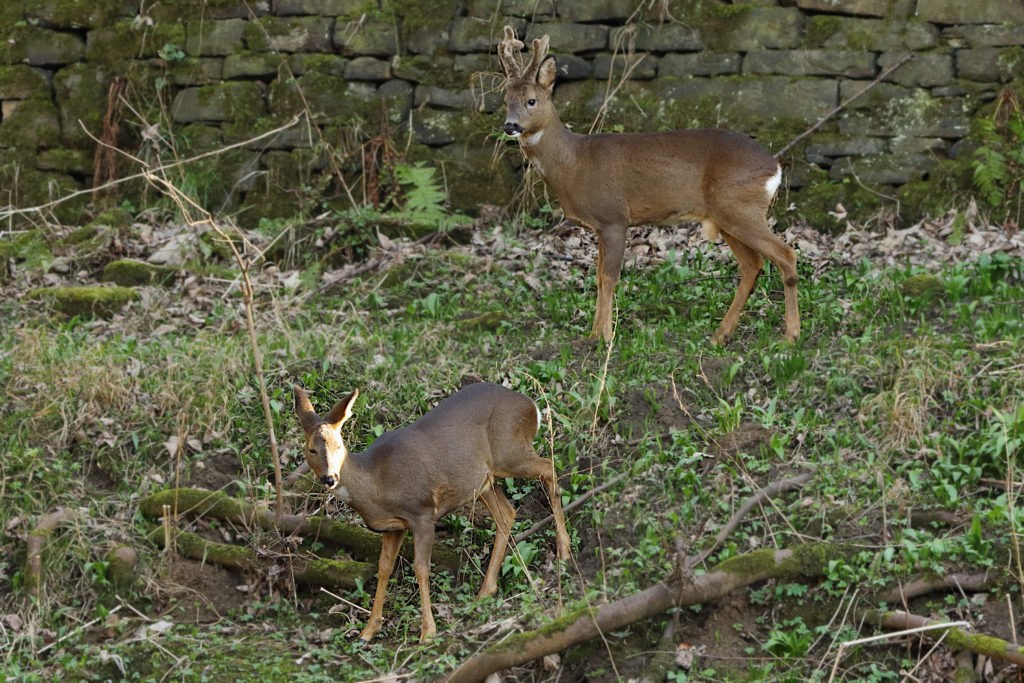 Male and Female Roe Deer