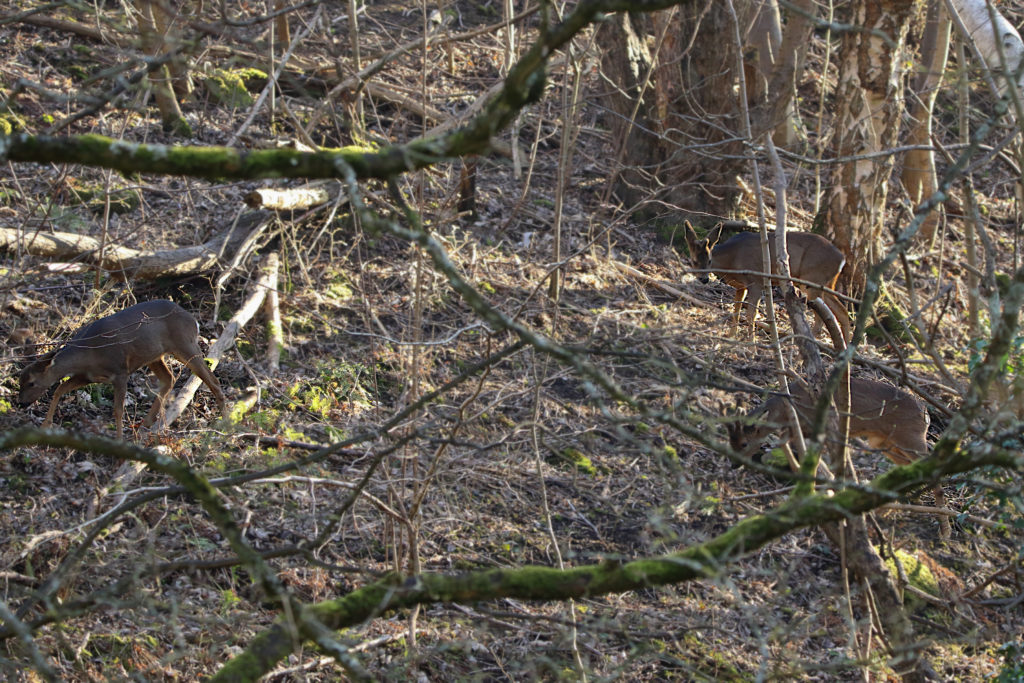 2 Male and 1 Female Roe Deer