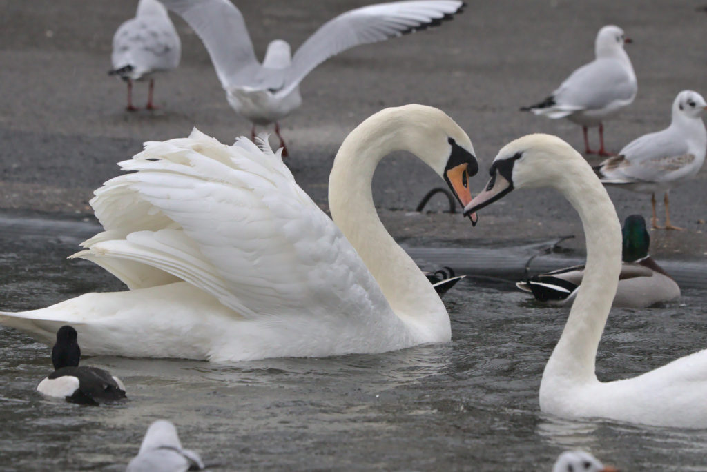 Swans being fed