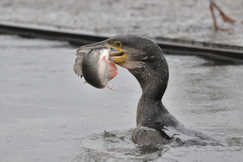 Cormorant with big fish