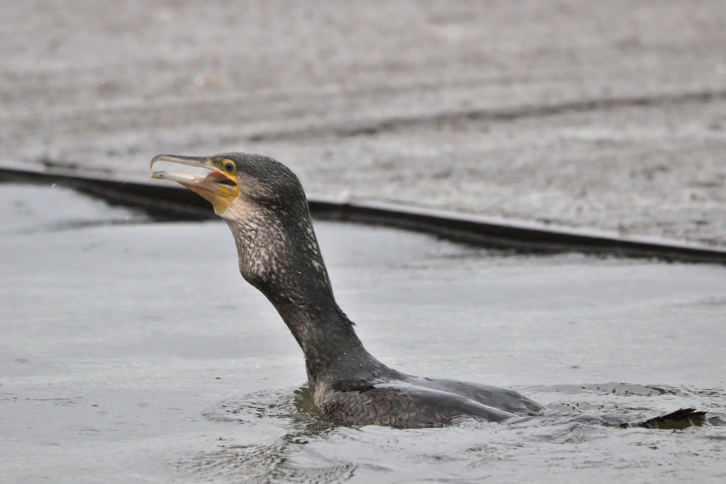 Cormorant swallowing big fish
