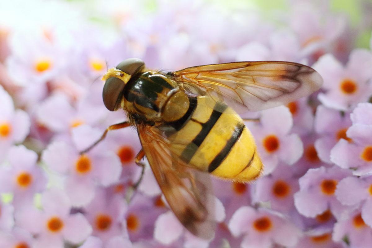 Hornet Hoverfly?