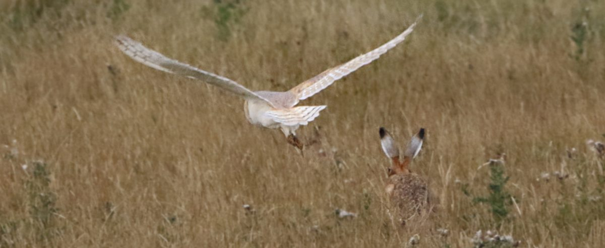 Barn Owl, Baildon Moor 15 Aug
