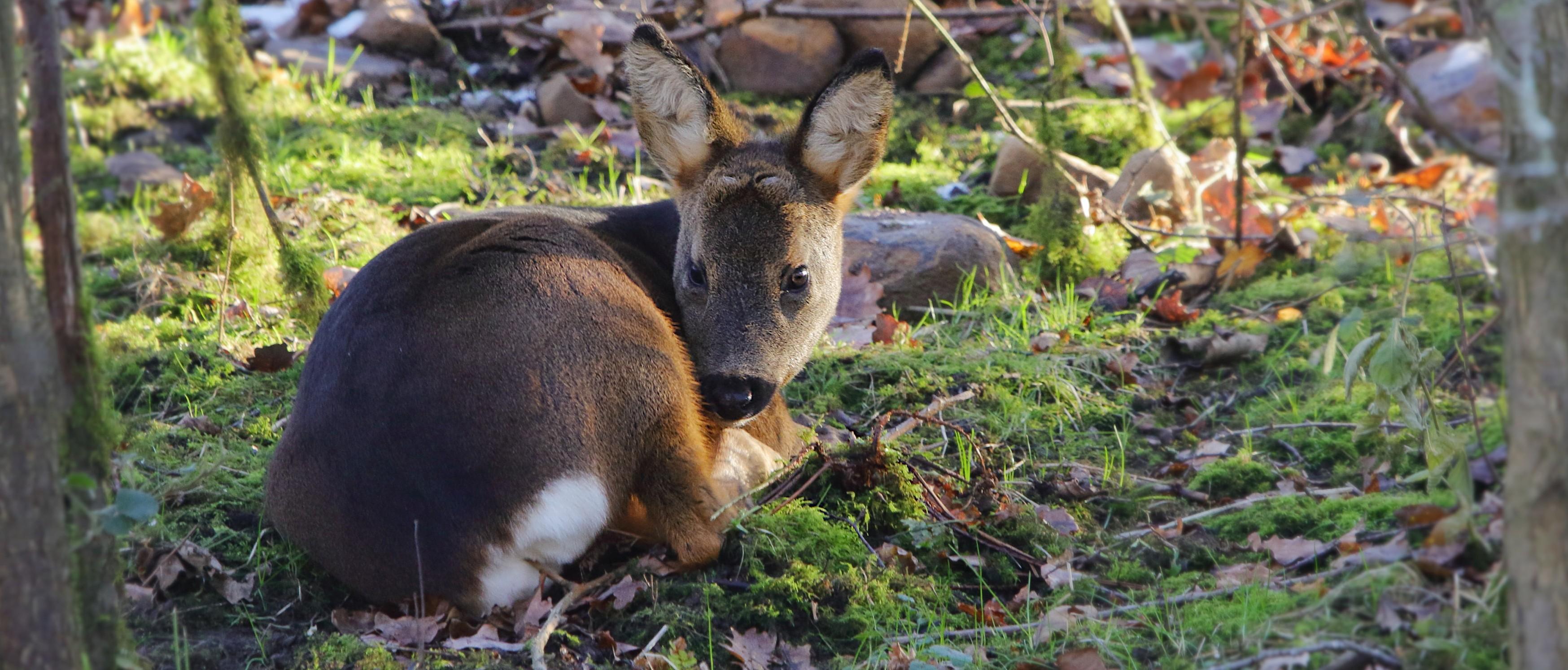 Resting young Roe Deer buck