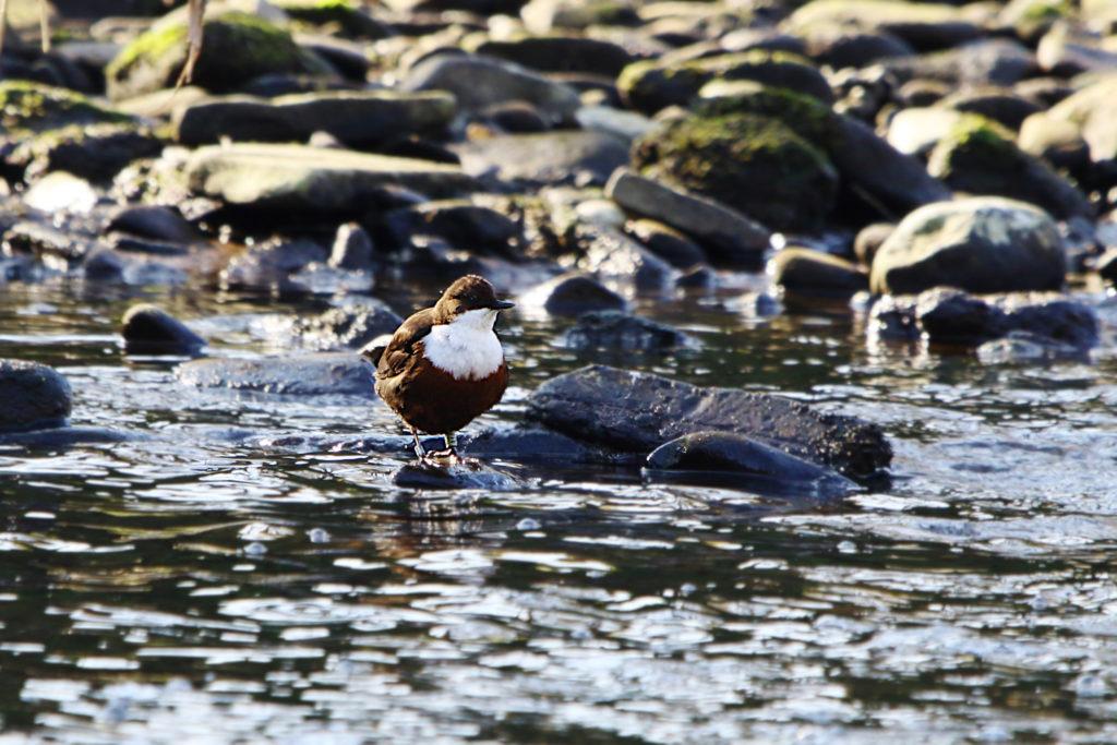 Common Dipper