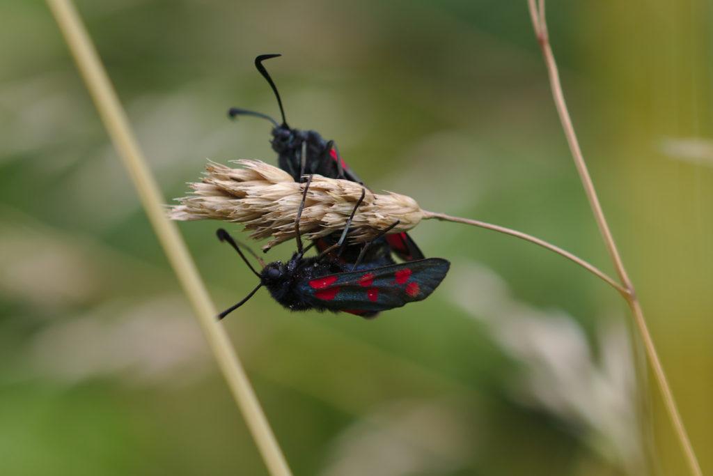 Mating Burnet Moths