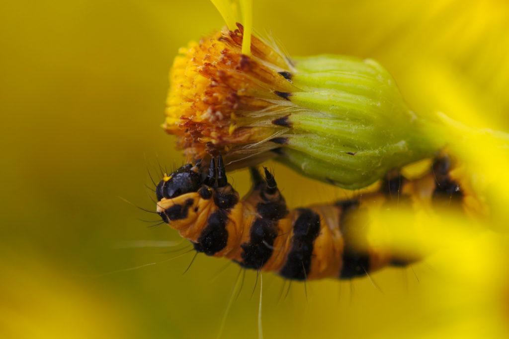 Cinnabar Moth caterpillar