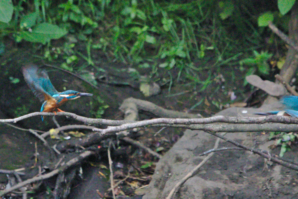 Kingfisher and Kingfisher Dart