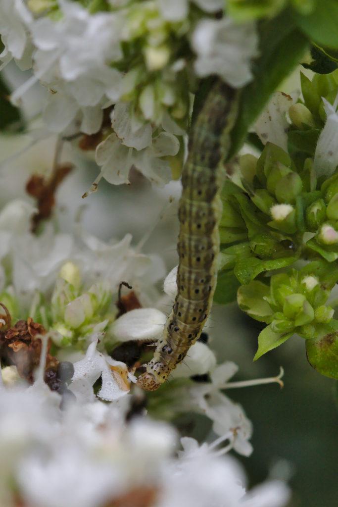 Mint Moth Caterpillar